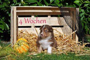 Welpe4-4Wochen