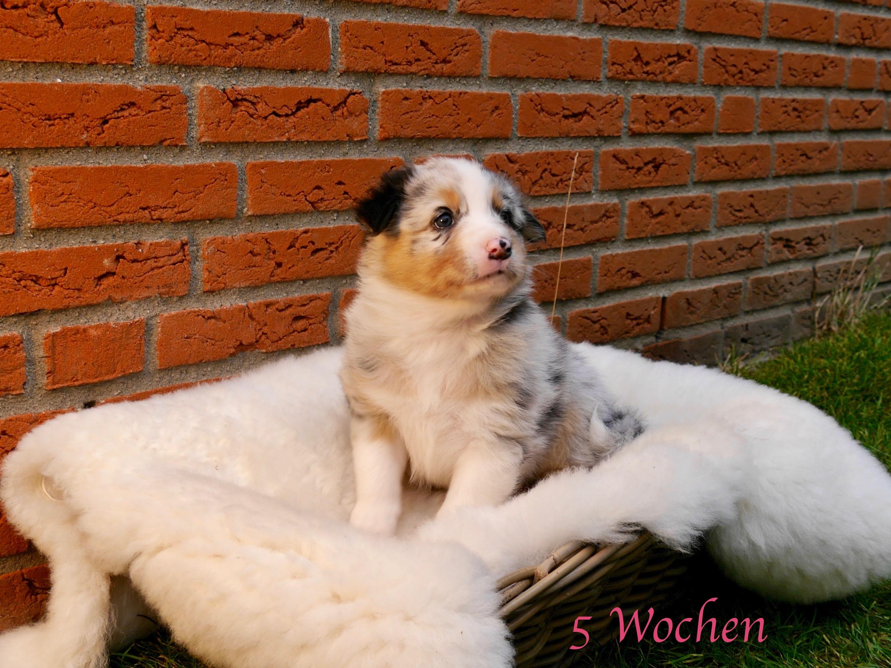 Welpe 7 5 Wochen