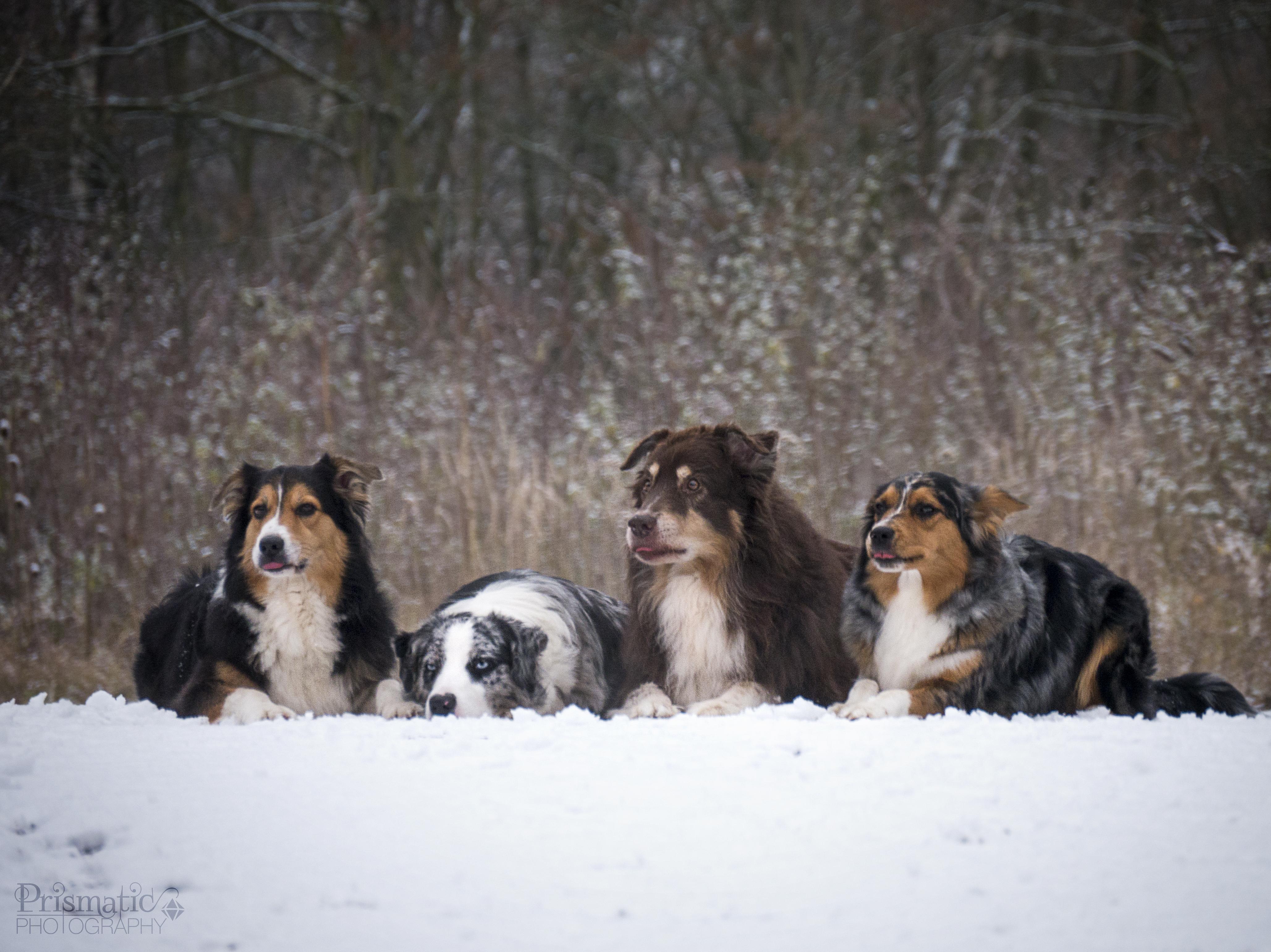 Die Meute im Schnee